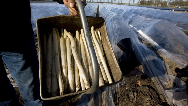 brabantse-wal-asperges-krijgen-europese-beschermde-status